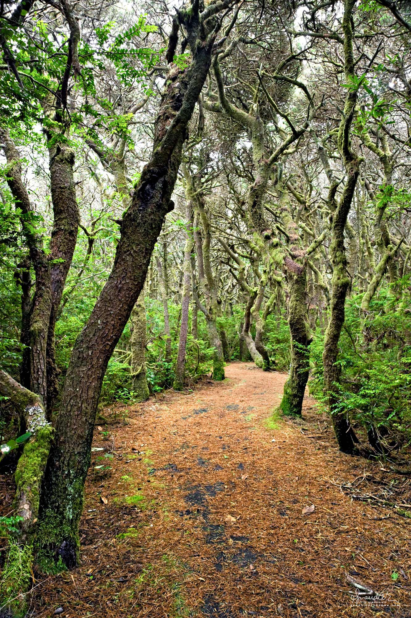 A footpath winds its way through a dense forest of Shore Pine (Pinus contorta contorta) at Washburne State Park, Oregon Central Coast.
