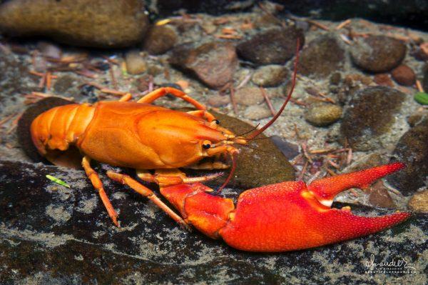 A Signal Crayfish (Pacifastacus leniusculus) in Wasson Creek. Devil's Staircase Wilderness, Douglas County, Oregon Coast Range.