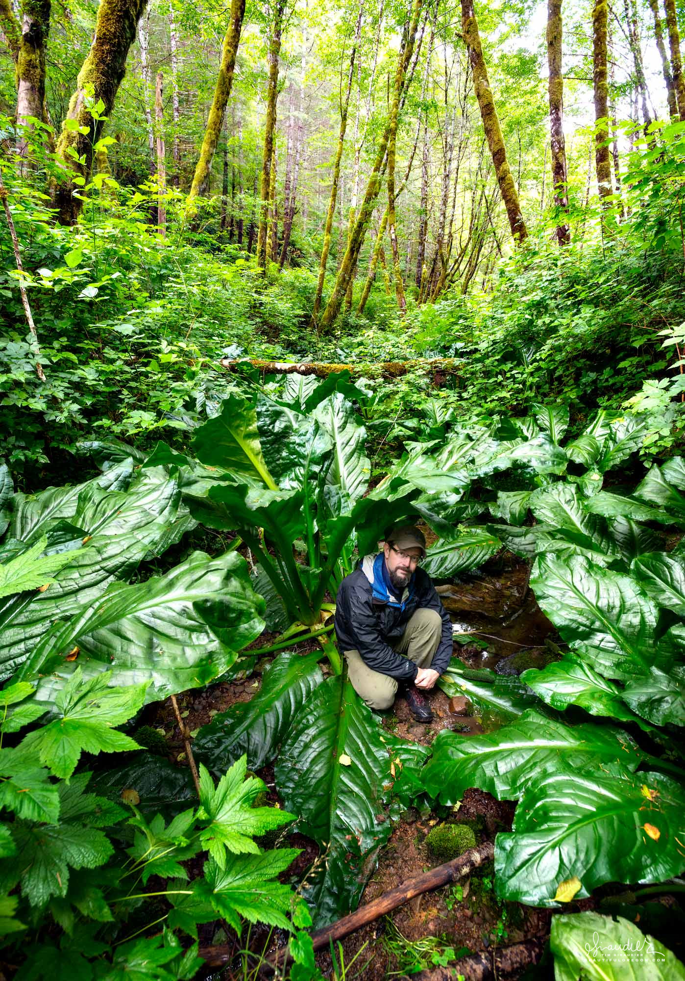 Western Skunk Cabbage (Lysichiton americanus) with five foot leaves are thriving in a stream gully. Elliott State Forest, Oregon Coast Range
