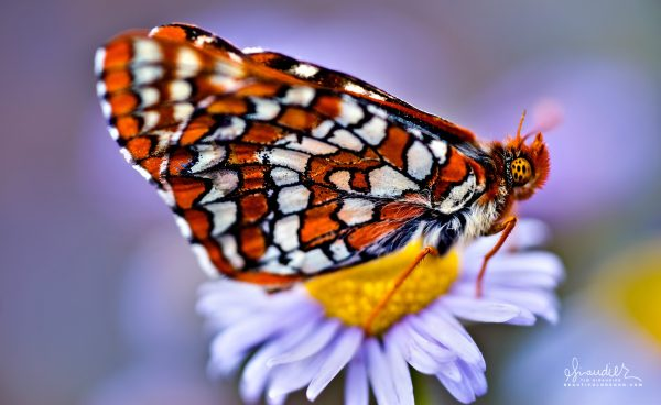 A Taylor's Checkerspot Butterfly (Euphydryas editha taylori) gathers nectar from wildflowers at Hart Mountain National Antelope Refuge. Lake County, Southeastern Oregon.