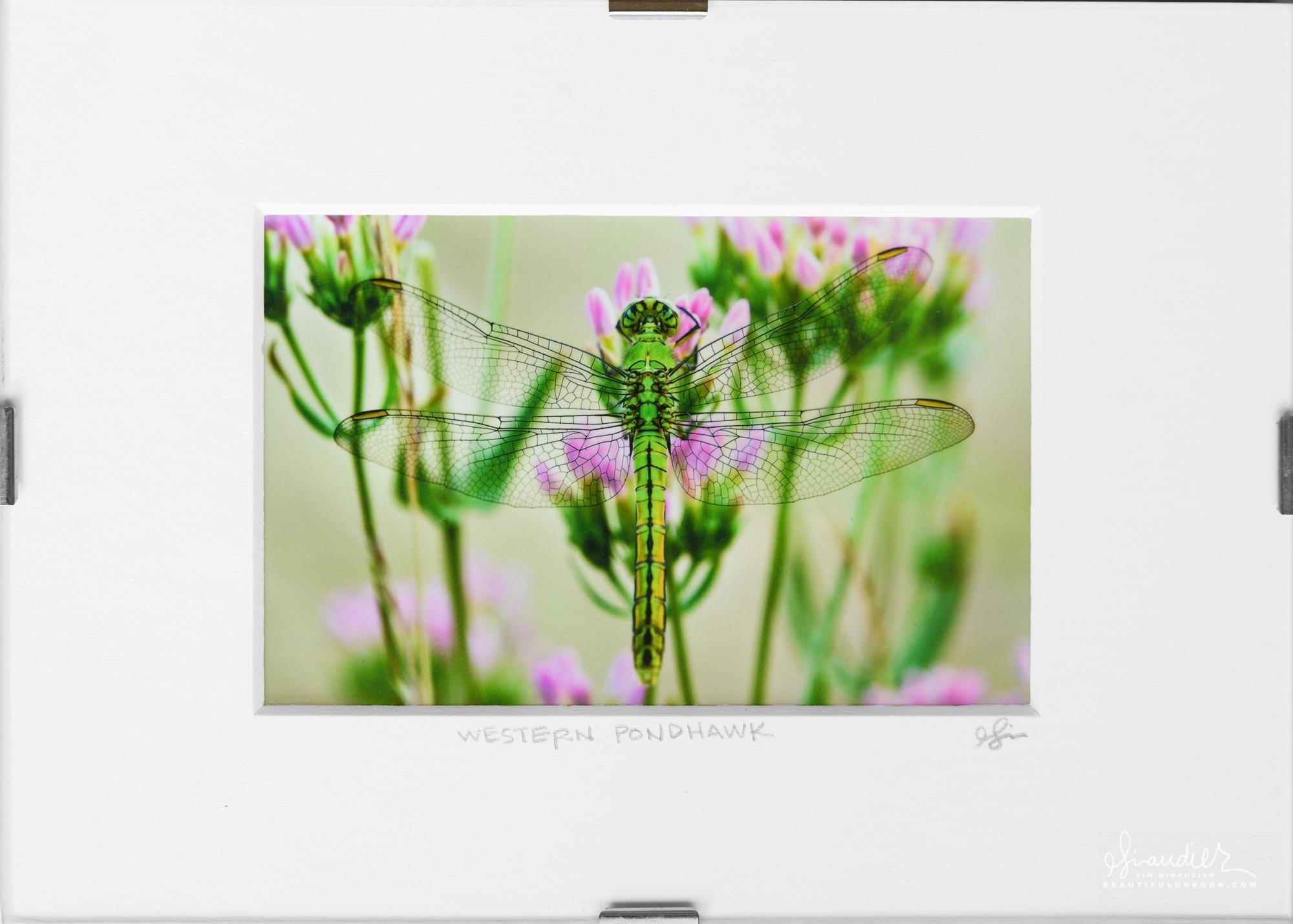 Dragonfly Western Pondhawk (Erythemis collocata). Willamette Valley Oregon.