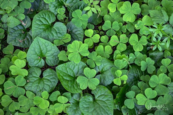 A lush ground cover of Wild Ginger (Asarum caudatum) and Wood Sorrel (Oxalis acetosella).Willamette National Forest, Oregon Cascades.