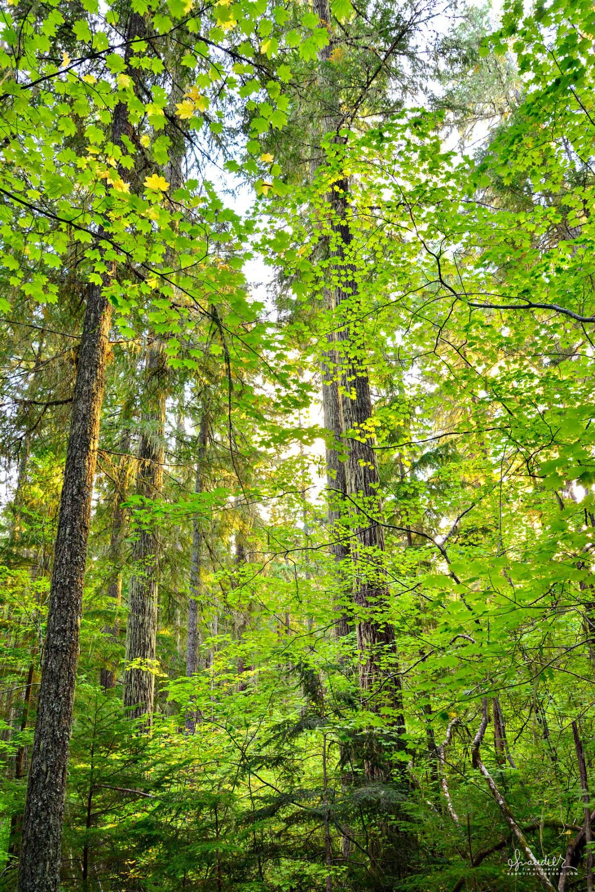 An old growth forest comprised of Doug-fir and Vine Maple found along the Eugene to Crest trail (No.3559). Willamette National Forest, Oregon West Cascades.