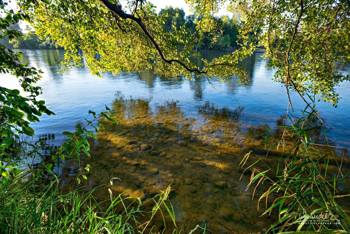 Beneath low hanging Alder branches, the Willamette River passes through the town of Eugene, Oregon. Alton Baker Park, Lane County, Willamette Valley.