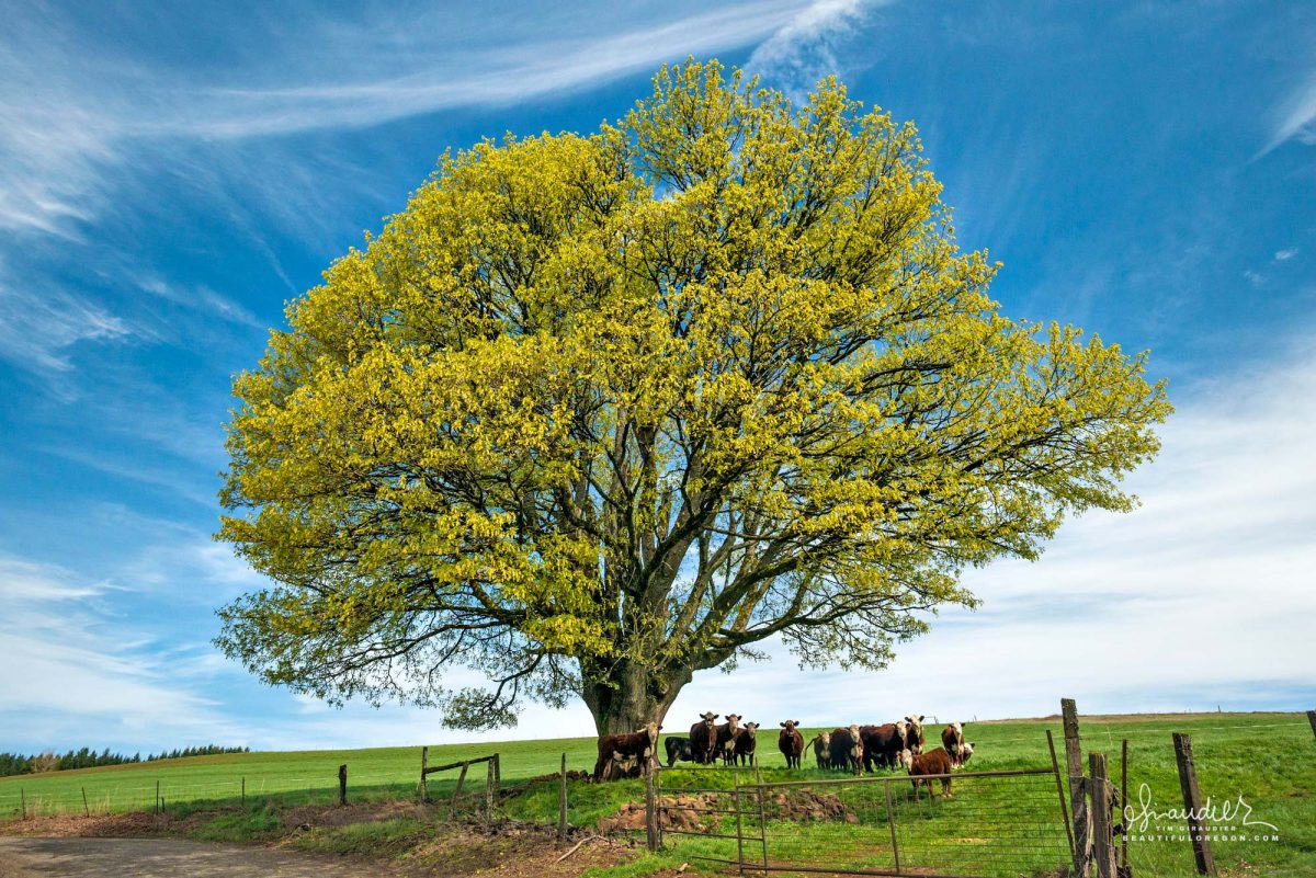 Cattle gather beneath Bigleaf Maple in Willamette Valley. Marion County Oregon agriculture and cattle ranching.