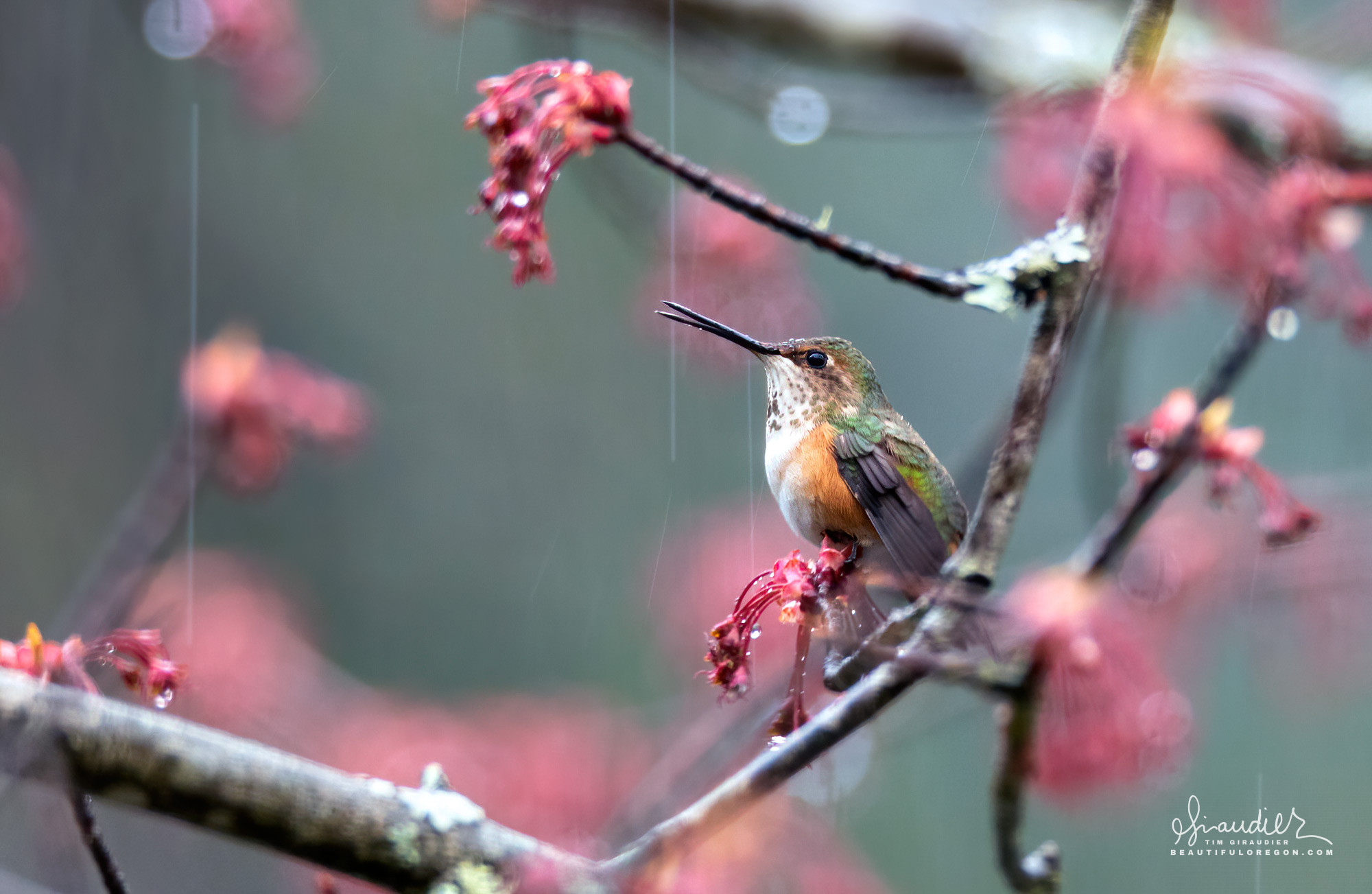 A Rufous Hummingbird (Selasphorus rufus) makes high pitch calls during a light rain. Willamette National Forest, Lane County, Oregon West Cascades.