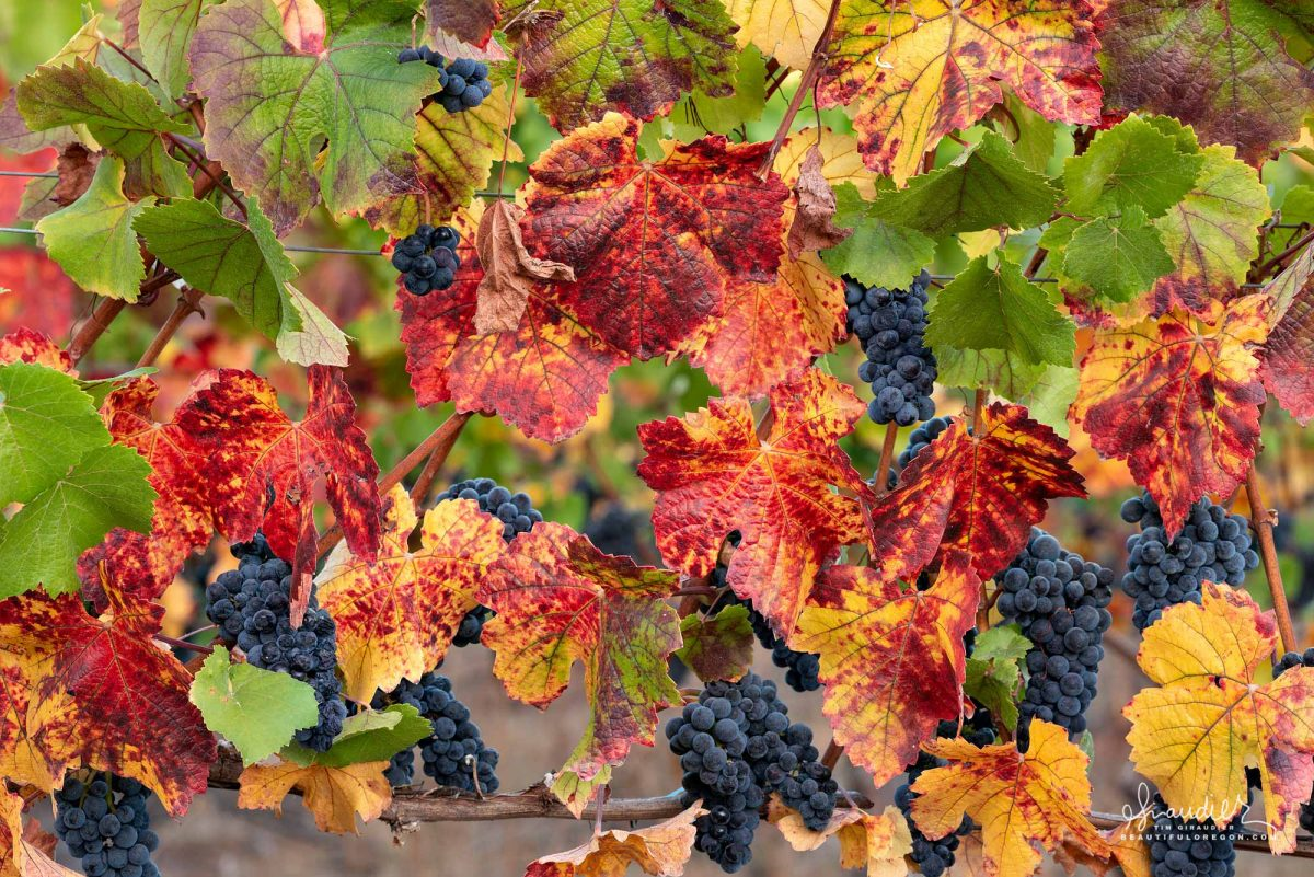 Pinot Noir grapes ripen on the vine in autumn. Viticulture and wine making in Benton County, Willamette Valley, Oregon.
