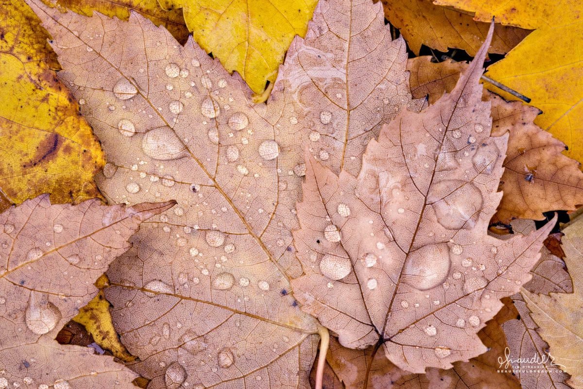 Fallen maples leaves with water drops. The color of Autumn in Willamette Valley, Oregon fall Photography.