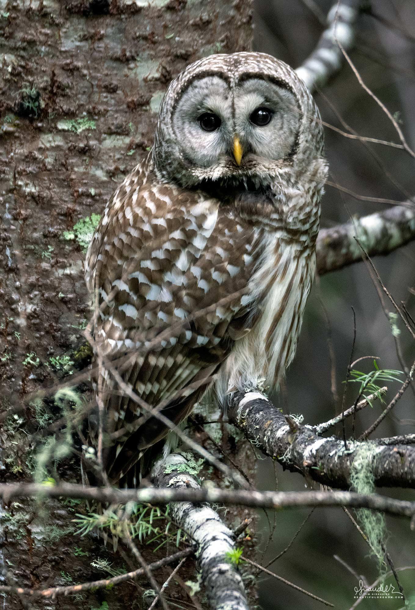 A Barred owl (Strix varia) dozes on the branch of a Doug-fir. Willamette National Forest, Oregon West Cascades.
