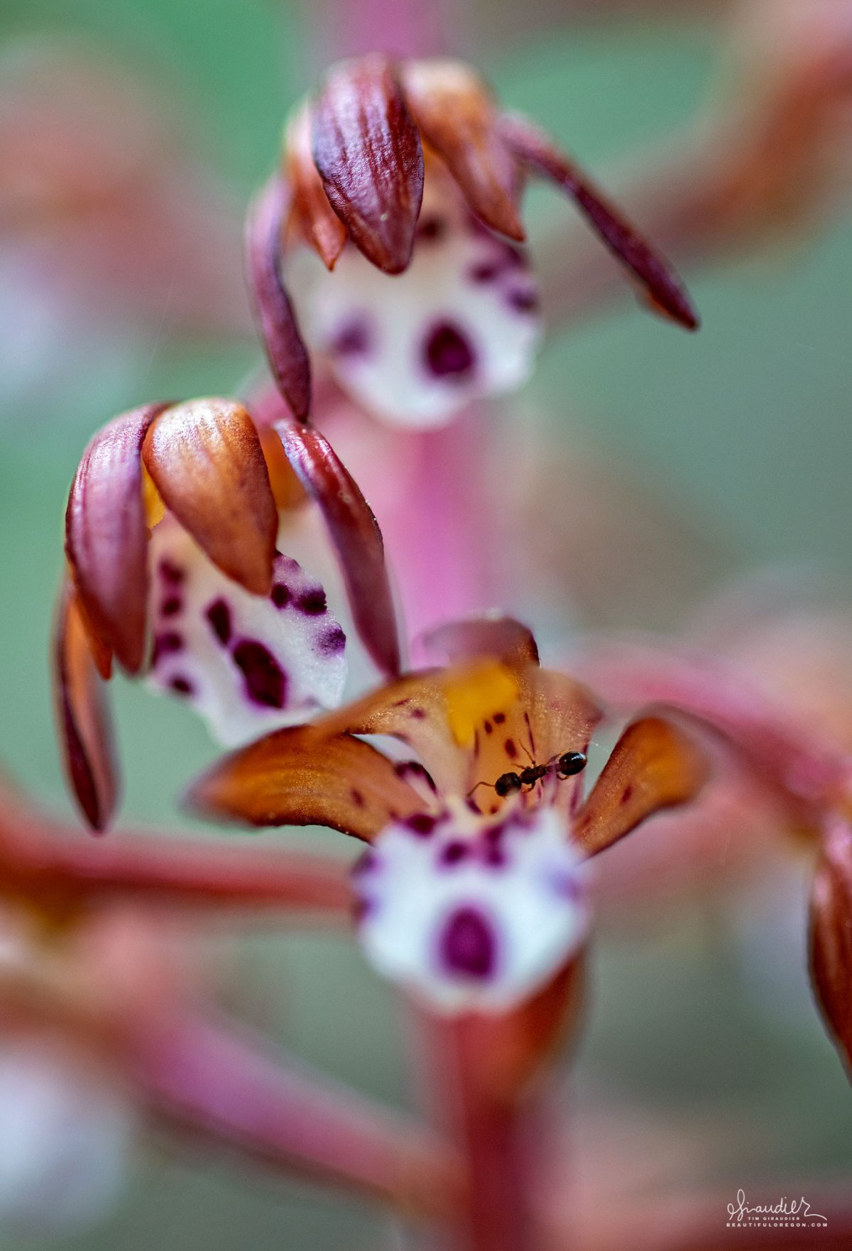 An ant gathers nectar from a Spotted Coralroot Orchid (Corallorhiza maculata maculata). Willamette National Forest, Oregon West Cascades.