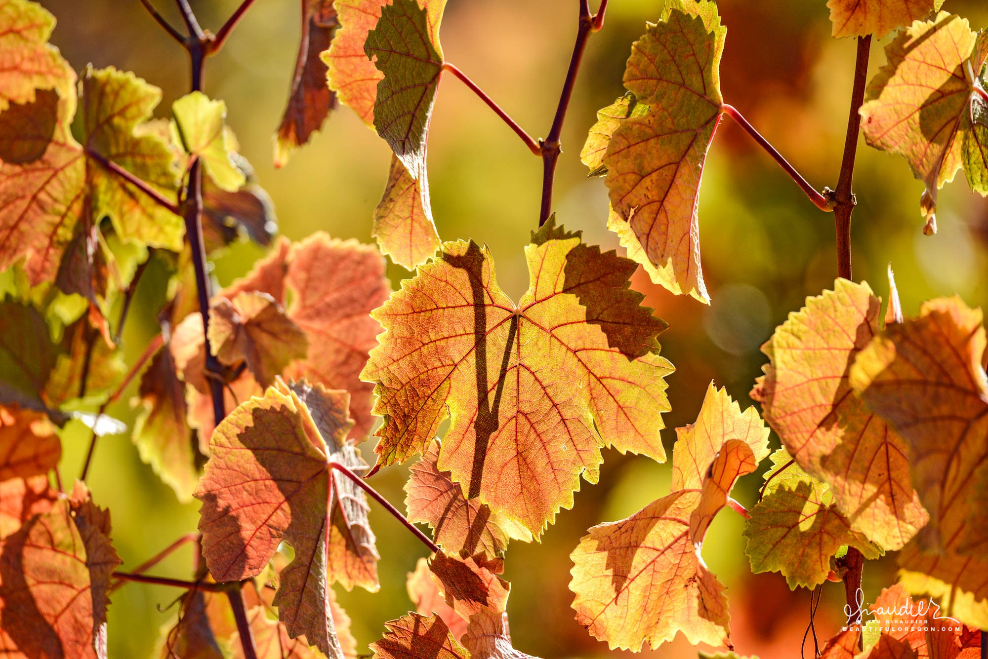 Pinot noir grape leaves take on color with the arrival of colder temperatures in October. Willamette Valley vineyards, Linn County, Oregon.