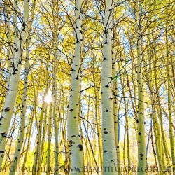 Steens Mountain, quaking aspen, Populus tremuloides, yellow, autumn, forest, Harney County, Eastern Oregon