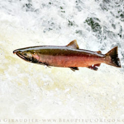 coho salmon, silver salmon, Oncorhynchus kisutch, Lake Creek, Siuslaw River, Oregon Coast Range, Oregon, salmon, fisheries, pacific northwest
