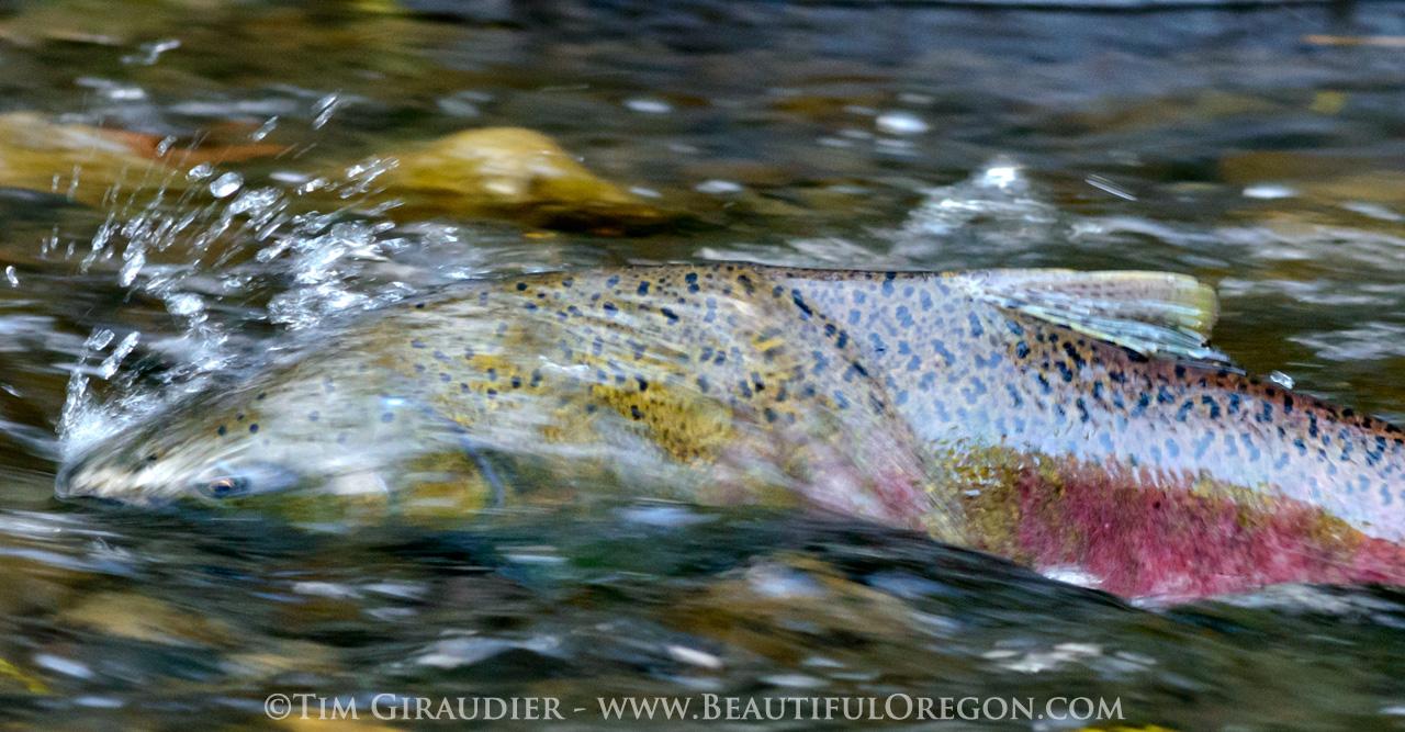 Coho Salmon, Silver Salmon, salmon, spawning, Columbia River Gorge, Eagle Creek, Oregon, Pacific Northwest