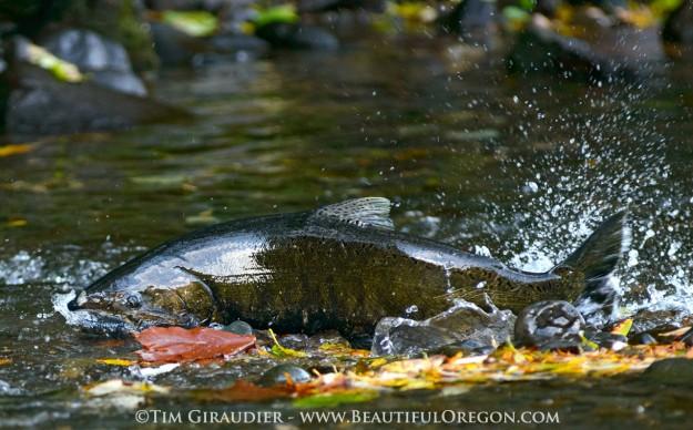 coho-salmon-spawning-eagle-creek-columbia-gorge-oregon-102015-8674