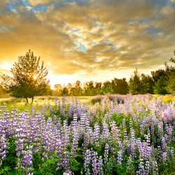 Willamette Valley, sunset, wildflowers, Lupine, yellow, purple, blue, Lane County