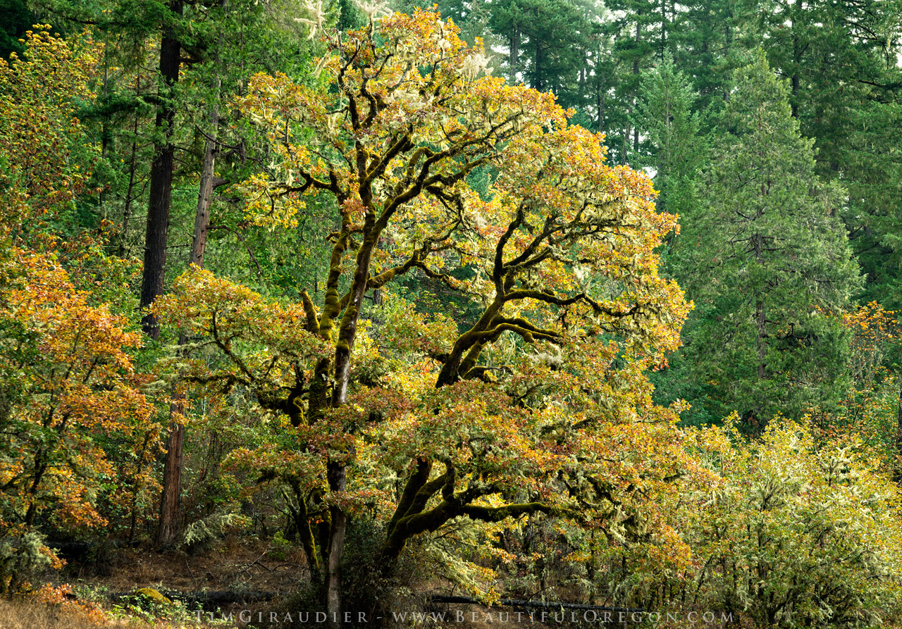 Oregon White Oak, Willamette National Forest. Oregon photography 106 ...
