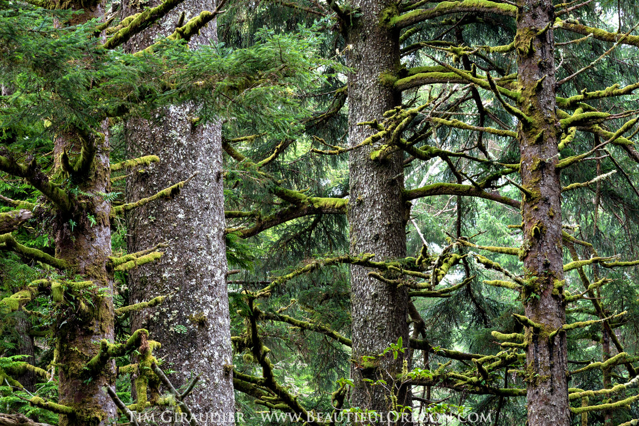 coastal sitka spruce - photo #36