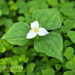 Trillium ovatum, Trillium, wildflower, botanical, green, white, Oxalis oregana, redwood sorrel, Oregon oxalis